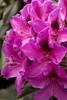 1989 Rhododendron Wojnar's Purple_005
