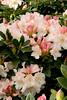 1030 Rhododendron Unique_024