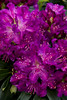 1979 Rhododendron Huskymania_006