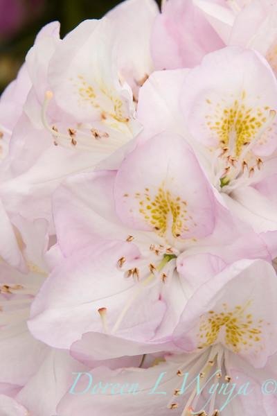 943 Rhododendron x Gomer Waterer_005