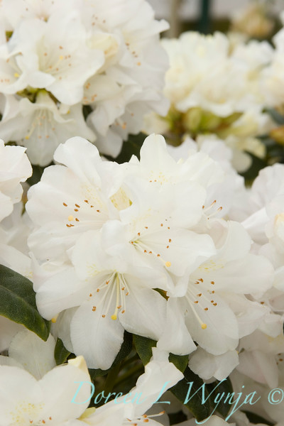 930 Rhododendron Dora Amateis_004