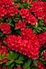 Rhododendron Firestorm_008