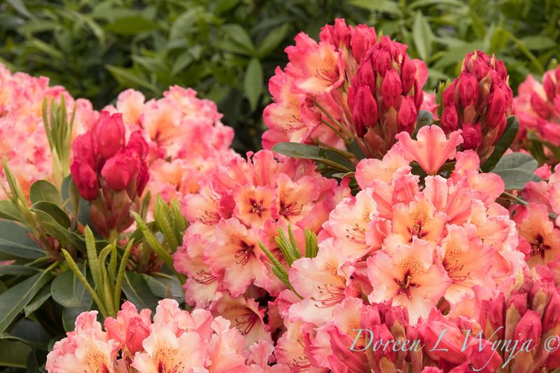 42003 Rhododendron 'Fire Rim'_2030