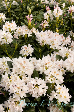 920 Rhododendron Cunningham's White_009