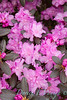 Rhododendron PJM_005