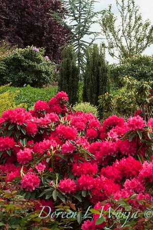 1029 Rhododendron Taurus_010