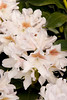 920 Rhododendron Cunningham's White_011