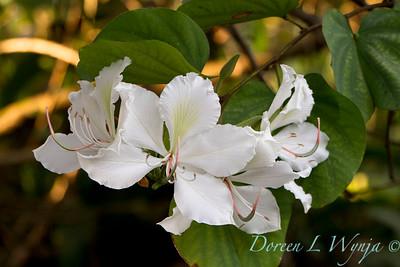 Bauhinia variegata 'Candida' - Orchid Tree_3524