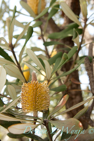 Banksia Yellow_011