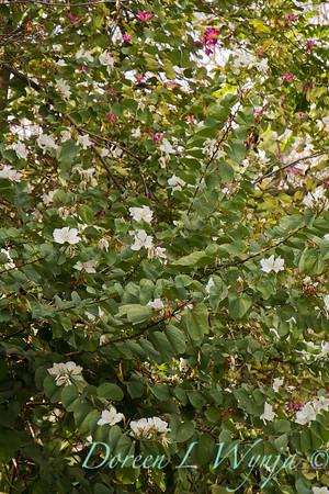 Bauhinia variegata 'Candida' - Orchid Tree_3550