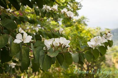 Bauhinia variegata 'Candida' - Orchid Tree_3537