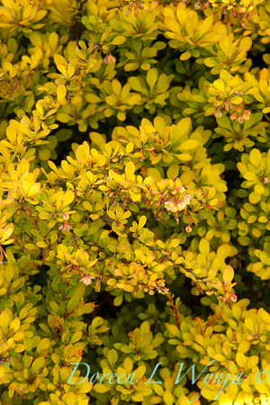 1193 Berberis Sunsation_002_5x