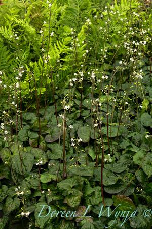 Beesia deltophylla_002