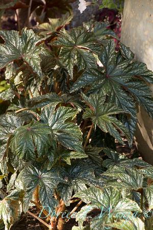 Begonia; Begonia hybrid; Pegasus; Pegasus®