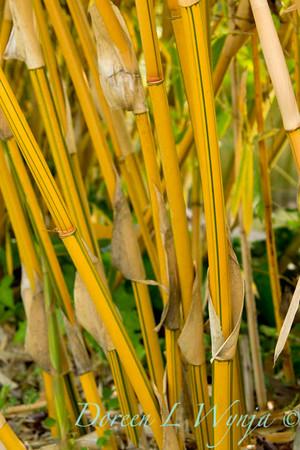Bambusa multiplex Alphonse Karr_003