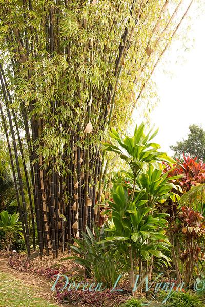 Bambusa lako black timber bamboo - Cordyline fruticosa_1710