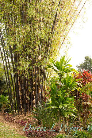 Bambusa lako black timber bamboo - Cordyline fruticosa_1710