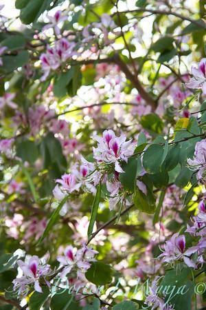 Bauhinia variegata - Orchid Tree_3522