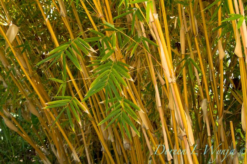 Bambusa multiplex Alphonse Karr_002M