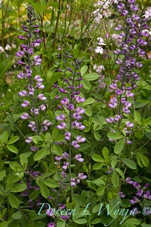 Baptisia australis_028_Doreen L Wynja