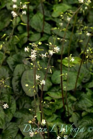Beesia deltophylla_003