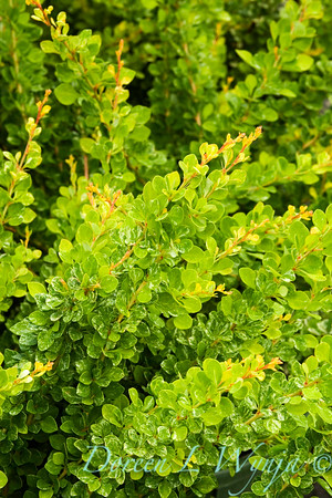 2070 Berberis Lime Glow_001_5x