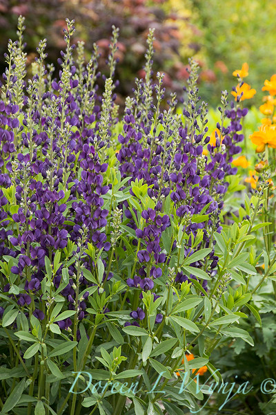 7706 Baptisia 'Royal Purple'_7384