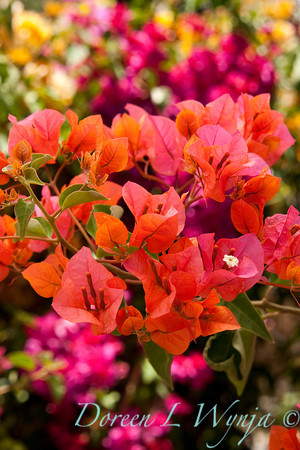 Bougainvillea Orange King_006