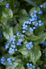 Brunnera macrophylla Jack Frost_002_Doreen Wynja