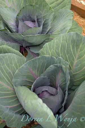 Brassica oleracea var  capitata f  rubra_3564