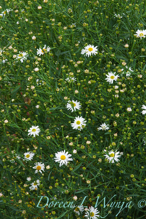 Boltonia asteroides Snowbank_007