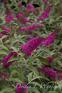 Buddleja x 'Miss Ruby'_1490