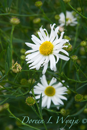 Boltonia asteroides Snowbank_011