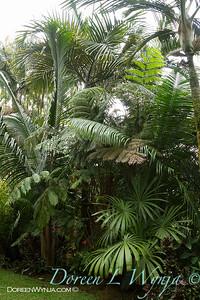 Burretiokentia sp  - Cibotium sp - rare palm collection landscape_4730