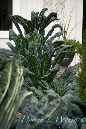 Brassica oleracea Lacinato Dinosaur_018