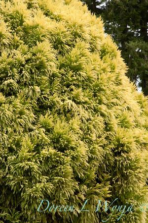 Cryptomeria japonica Sekkan_020