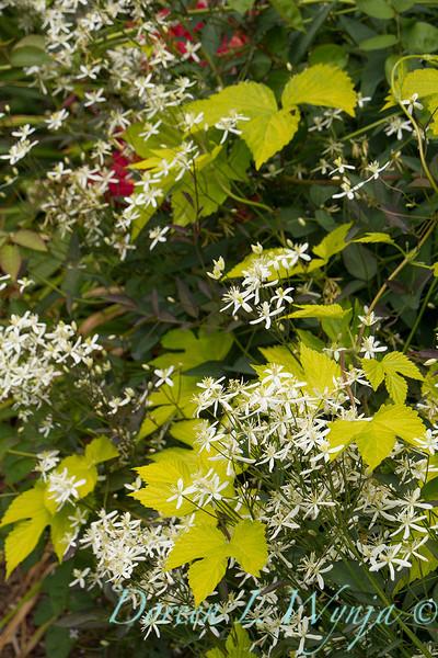 Clematis paniculata Humulus lupulus Aureus_3098