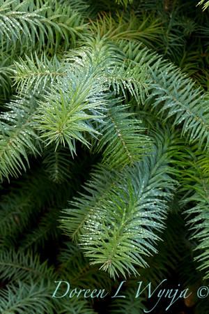 Cunninghamia lanceolata Glauca_011