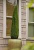 Cupressus sempervirens 'Monshel' Tiny Tower_9023