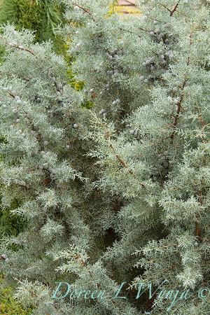 Cupressus arizonica Blue Ice_008