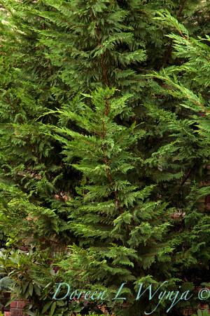 Cupressocyparis leylandii Emerald Isle_003M