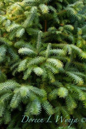 Cunninghamia lanceolata Glauca_007