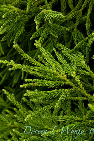 Cryptomeria japonica Spiralis_008