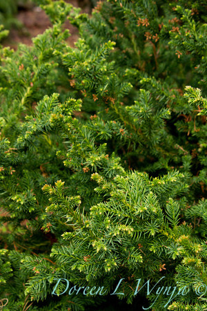 Cryptomeria japonica Black Dragon_007