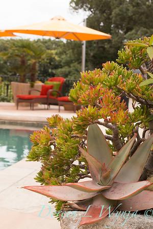 Aloe striata - Crassula ovata 'Gollum' poolside planter_0797