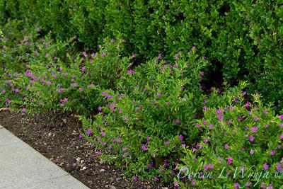 Cuphea hyssopifolia_004