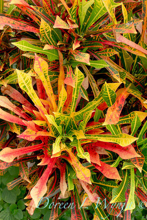 Croton Norwood Beauty_001