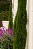 Cupressus sempervirens 'Monshel' Tiny Tower - Salvia leucantha_0551