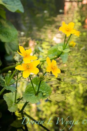 Artist; bog plant; Caltha; Caltha palustris; kingcup; Marcia Donahue; marsh marigold; wetlands
