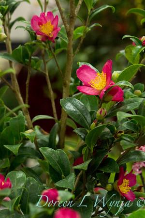 Camellia sasanqua Yuletide_002